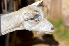 White goat poked its head out of the pen. An image of a white goat poked its head out of the pen Stock Images