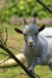 White goat, a portrait Royalty Free Stock Photography