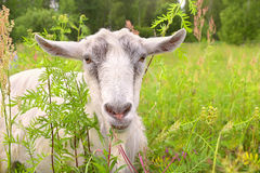 White Goat Portrait Farm Animal Stock Images