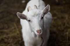 White goat portrait stock photos