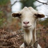 The white goat portrait in the nature stock photos