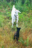 White goat and a puppy Royalty Free Stock Photo