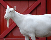 White Goat with Red Barn Door Stock Image
