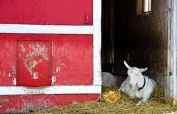 White goat by red barn Stock Image