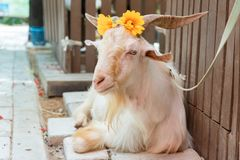 White goat relaxing with orange flowers on head royalty free stock image