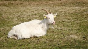 White Goat Resting Royalty Free Stock Images