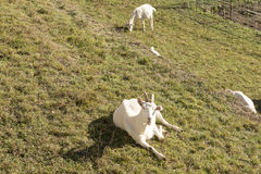 White goat rests on winter grass, Crodo, Ossola Royalty Free Stock Photo