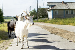 White goat on the road. The white goat costs on the road in the village Stock Image