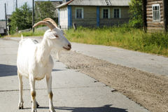 White goat on the road. The white goat costs on the road in the village Stock Photos
