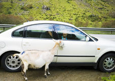 White goat at the roadside Royalty Free Stock Photos