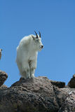 White goat on rock. Single white goat on rocks with blue sky background Royalty Free Stock Images