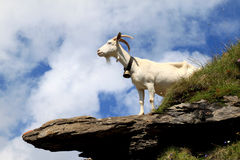 White goat on the rocks in the Swiss mountains Stock Photo