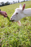 A white goat ruminates grass. White goat ruminates grass from hand Royalty Free Stock Photo