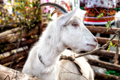 White goat in rural atmosphere 2015 symbol Royalty Free Stock Photo