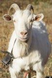 White goat. Russian white dairy goat Stock Image