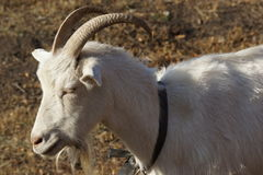 White goat. Russian white dairy goat Royalty Free Stock Image