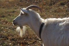 White goat. Russian white dairy goat Stock Photo