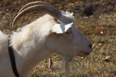 White goat. Russian white dairy goat Royalty Free Stock Photos