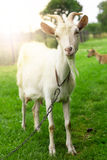 White goat's portrait. Stock Photo