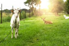 White goat. Royalty Free Stock Photos