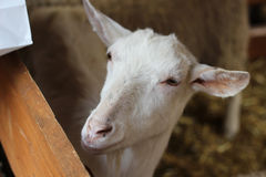 White goat. In the shed Royalty Free Stock Images