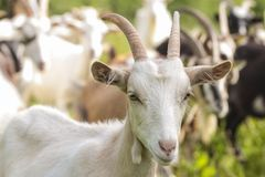 White goat kid. A baby white goat in the small farm. White goat in a meadow of a goat farm. White goat in the small farm. White goat in a meadow of a goat farm Royalty Free Stock Photo