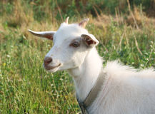 White Goat Smile Stock Image