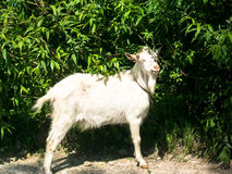 White goat smiling sun. Eats green leaves Royalty Free Stock Image
