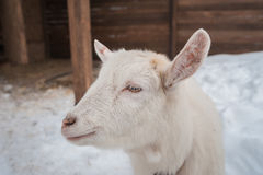 A white goat on the snow stands in the afternoon. Stock Photos