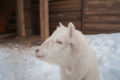 A white goat on the snow stands in the afternoon. Royalty Free Stock Photos