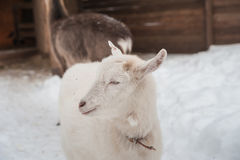 A white goat on the snow stands in the afternoon. Royalty Free Stock Image