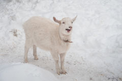A white goat on the snow stands in the afternoon. Stock Photo