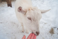 A white goat on the snow stands in the afternoon. Stock Image