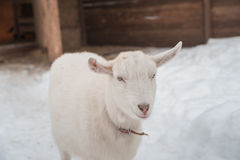 A white goat on the snow stands in the afternoon. Stock Photography