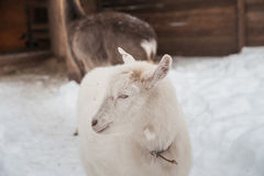 A white goat on the snow stands in the afternoon. Royalty Free Stock Photo