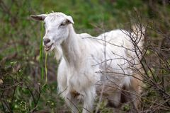 White goat on a pasture. White goat standing on a pasture, Greece Stock Photography