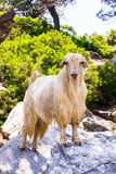 White goat standing on a stone Stock Photography