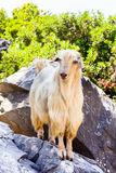 White goat standing on a stone Royalty Free Stock Photos