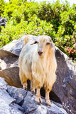White goat standing on a stone Stock Image