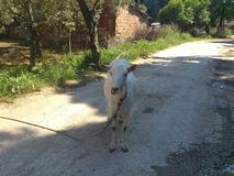 White goat standing at village road. Farm animal at perspective road with olive trees and house wall Stock Images