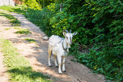The white goat Royalty Free Stock Images
