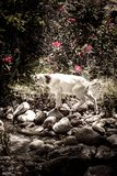 White goat stands on the stones surrounded by green plants with red flowers. A white goat stands on a background of green bushes and red flowers stock photo