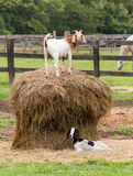 White goat on straw bale in farm field Stock Photo