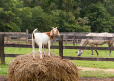 White goat on straw bale in farm field Stock Images