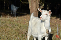 White goat on a summer pasture Royalty Free Stock Image