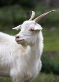 White goat. Symbol of the new year on the eastern calendar Royalty Free Stock Photo