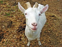 White goat  with two horns Stock Photos