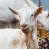 White goat at the village in a cornfield, goat on autumn grass, goat head looks at the camera.  Stock Photo