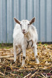 White goat at the village in a cornfield, goat on autumn grass, goat stands and looks at the camera Stock Photo