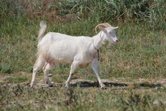 White goat for a walk Royalty Free Stock Photo
